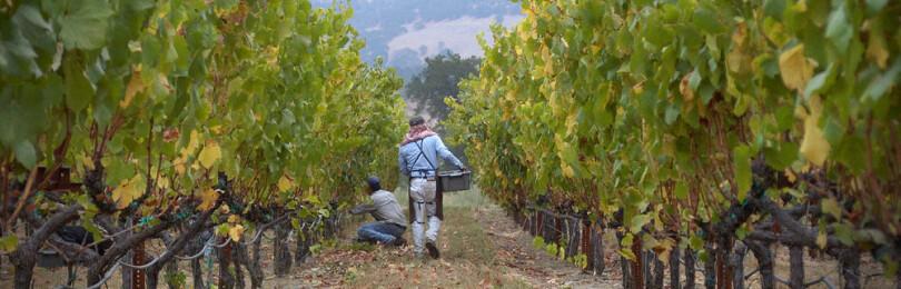 Уход за посадками винограда: подвязка, пасынкование, прищипывание