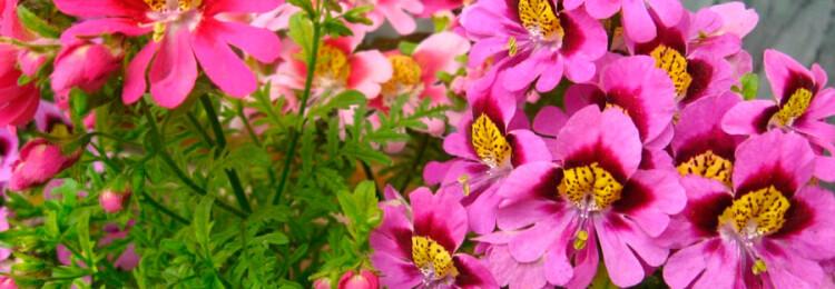 Схизантус: выращивание из семян в домашних условиях