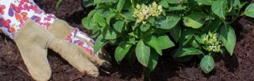 Гортензия: когда сажать весной в открытый грунт