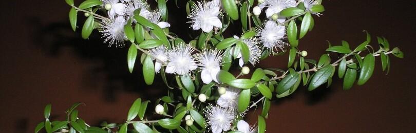Мирт цветок: уход в домашних условиях