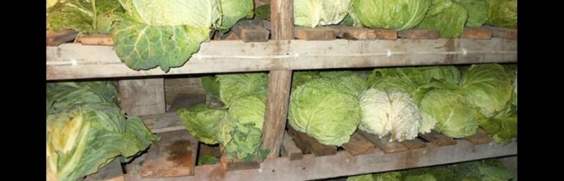 Хранение капусты в погребе в зимнее время