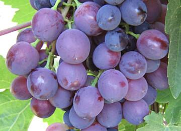 Краткий список лучших красных сортов винограда