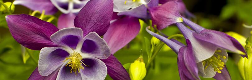 Аквилегия: выращивание из семян, когда сажать