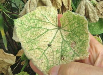 Листья огурцов желтеют в теплице, что делать?