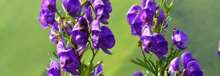 Аконит: травянистые растения для открытого грунта