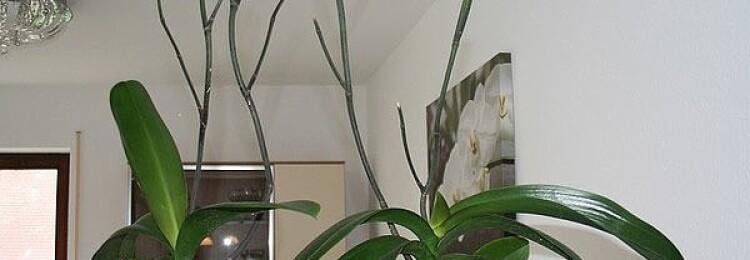 Орхидея: уход в домашних условиях после цветения