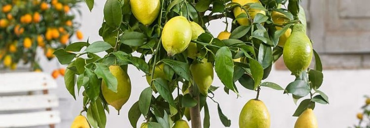 Как вырастить лимон в домашних условиях из косточки?