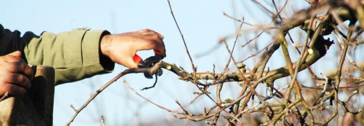 Обрезка яблонь весной для новичков