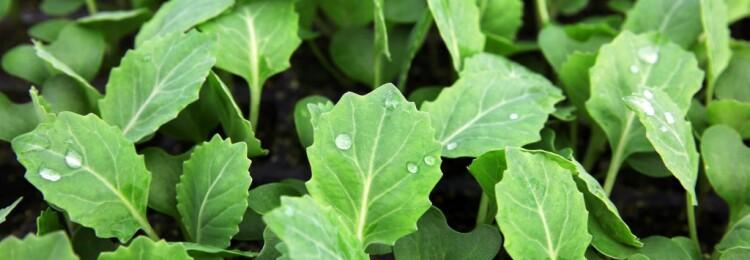 Сроки посева капусты на рассаду