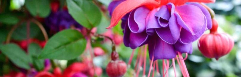 Выращивание фуксии в домашних условиях. Правила ухода за цветком