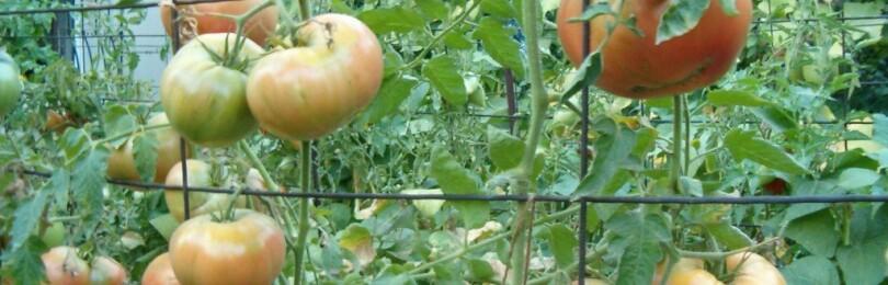 Как правильно подвязывать помидоры в теплице из поликарбоната?