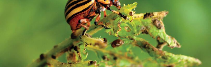 Как избавиться от колорадского жука на картошке навсегда?