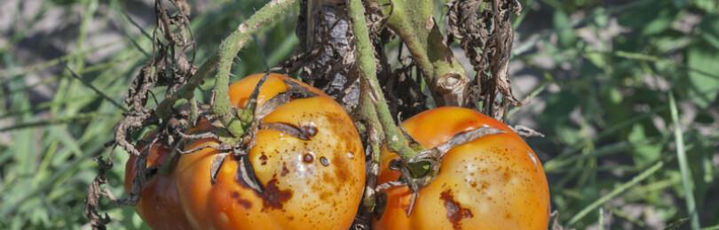 Чем обработать помидоры от фитофторы в открытом грунте?