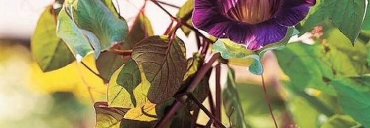 Кобея: выращивание из семян в домашних условиях