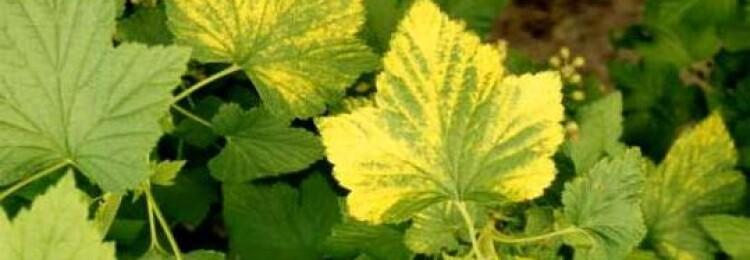 Почему у смородины в мае и июне желтеют листья