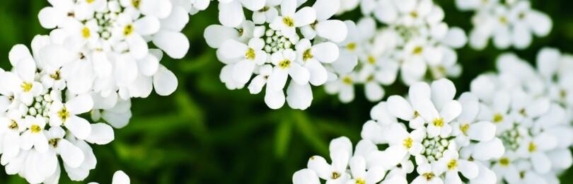 Иберис: выращивание из семян, когда сажать