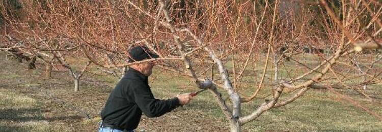 Обрезка персика в Крыму весной