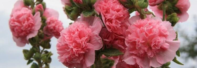 Шток-роза: выращивание из семян, когда сажать
