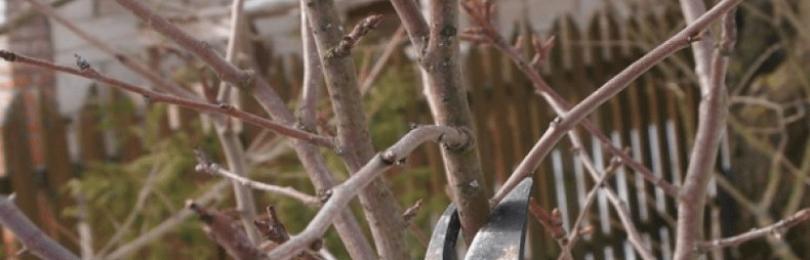 Обрезка черешни весной для начинающих