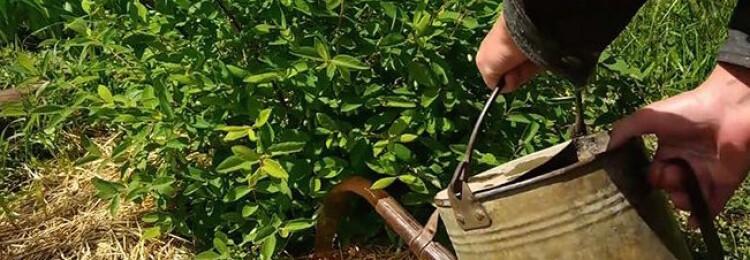 Чем подкармливать жимолость весной для хорошего урожая
