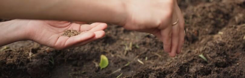 Укроп: когда сажать весной в открытый грунт