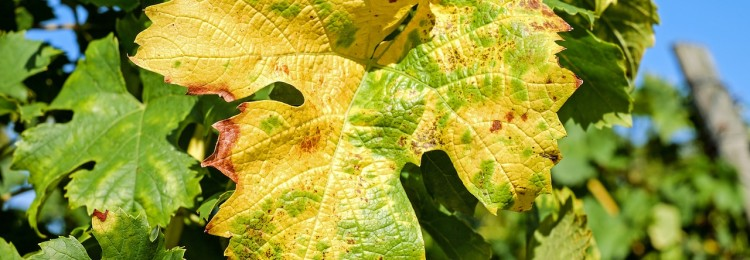 Листья винограда желтеют и сохнут, что делать
