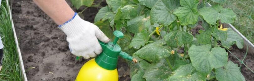 Чем подкормить огурцы в открытом грунте для роста и плодоношения
