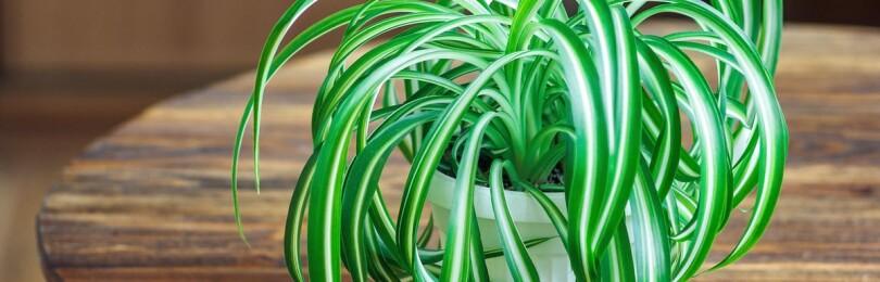 Хлорофитум: уход в домашних условиях