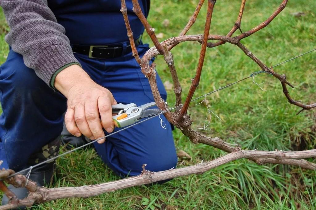Обрезка молодой лозы винограда