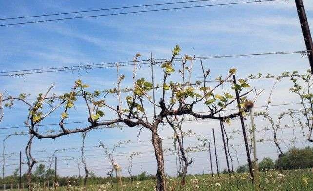 Молодой куст винограда весной