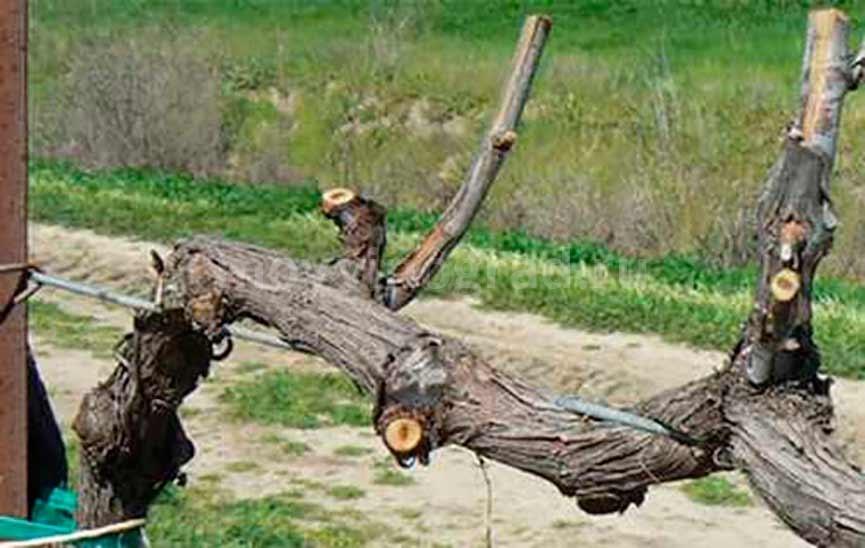 Старая лоза винограда