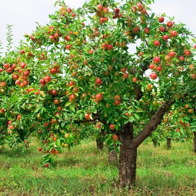 Карликовая среднесортная яблоня