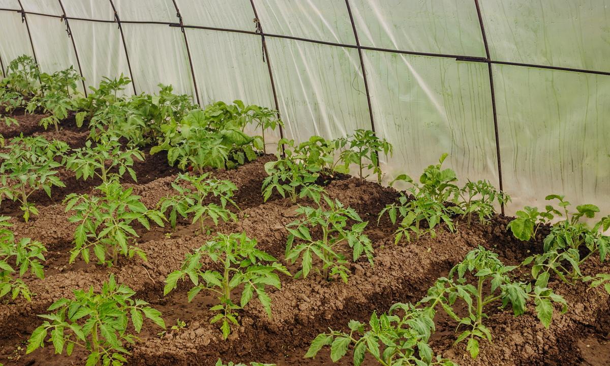 Как ухаживать за рассадой помидор после высадки в теплицу 41