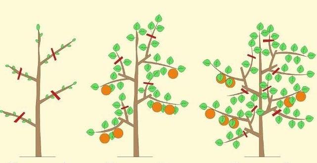 Схема обрезки колонновидных яблонь
