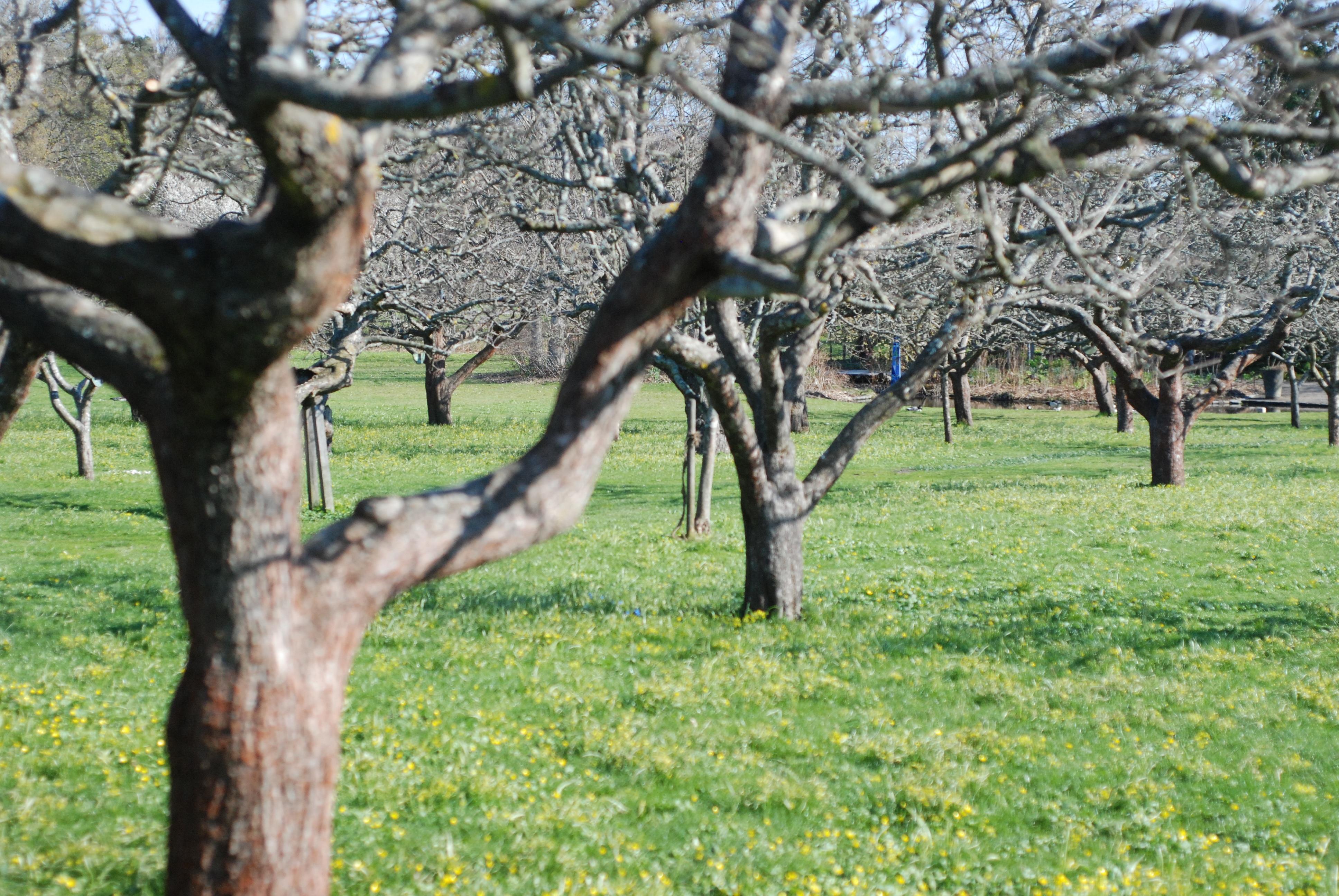 Яблони ранней весной