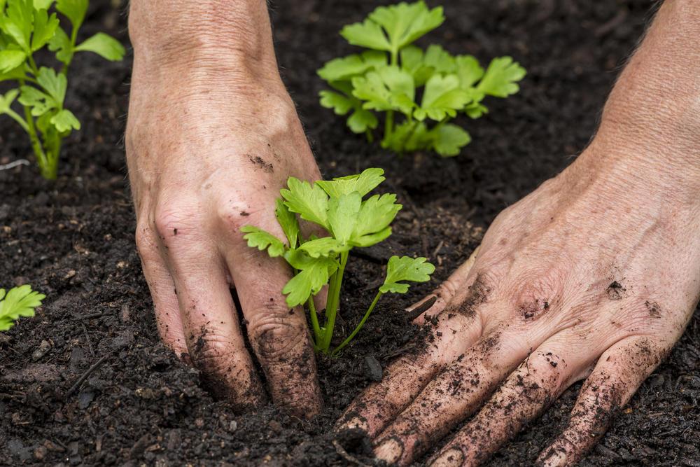 Сельдерей корневой посадка в грунт и уход
