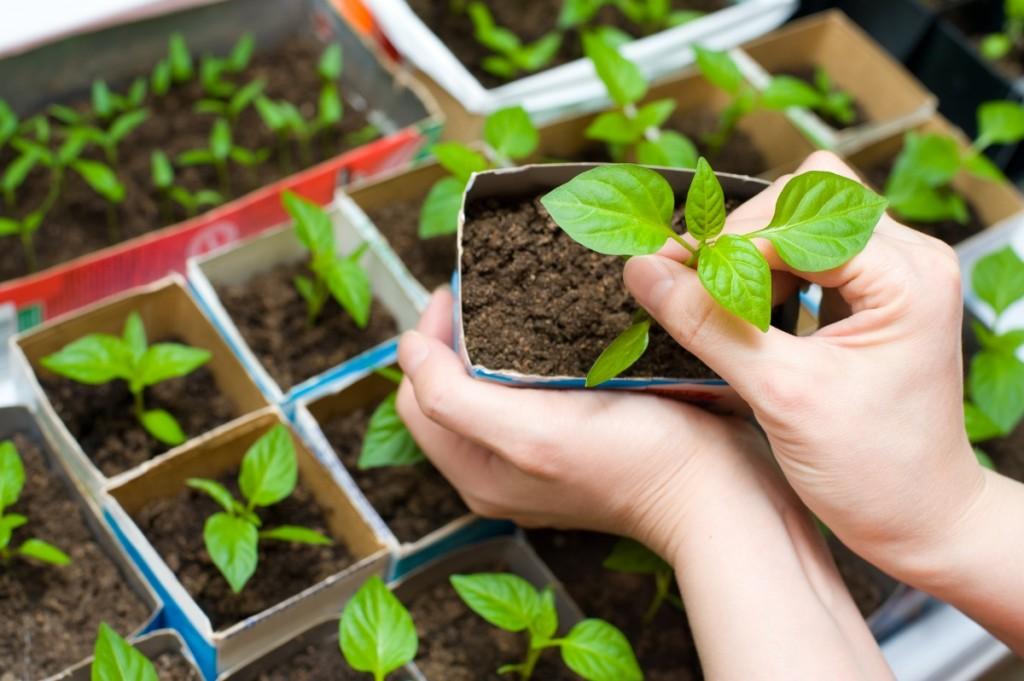 Как сеять перец на рассаду 56