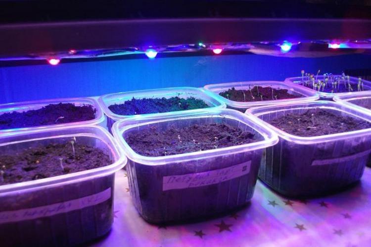 Выращивание рассады под лампой 13