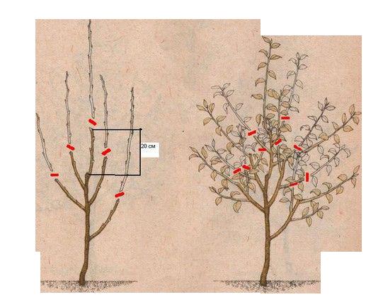Обрезка двухгодовалой яблони