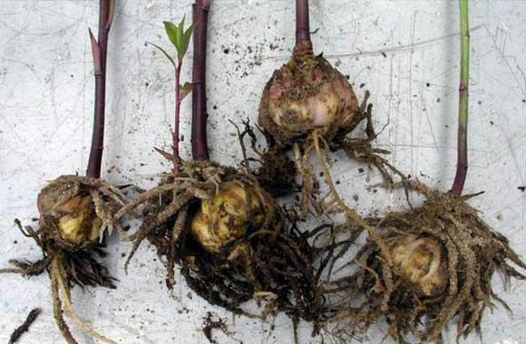 Сохранить луковицы лилий в домашних условиях