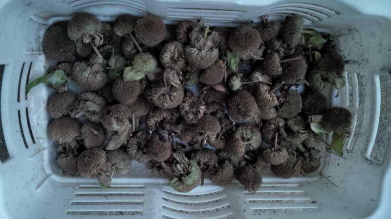 Собранные семена монарды