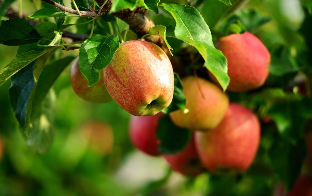 Плоды садовых культур