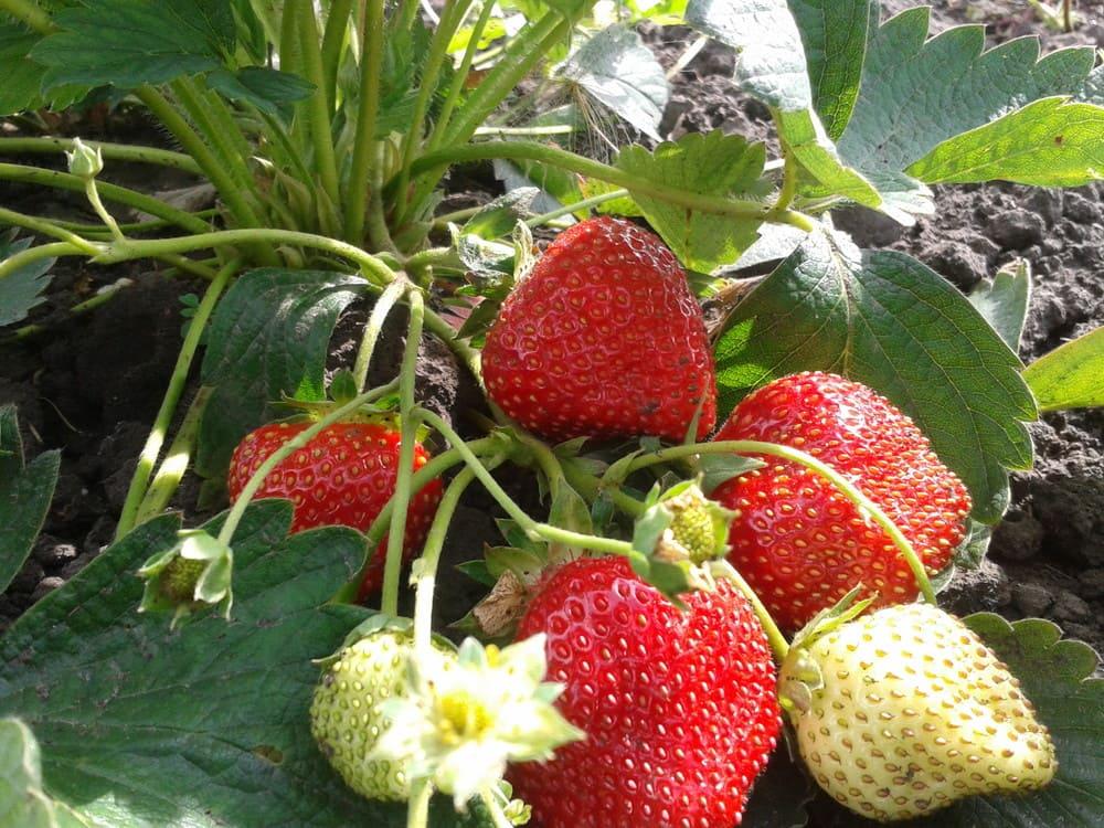 Травянистые ягодные культуры