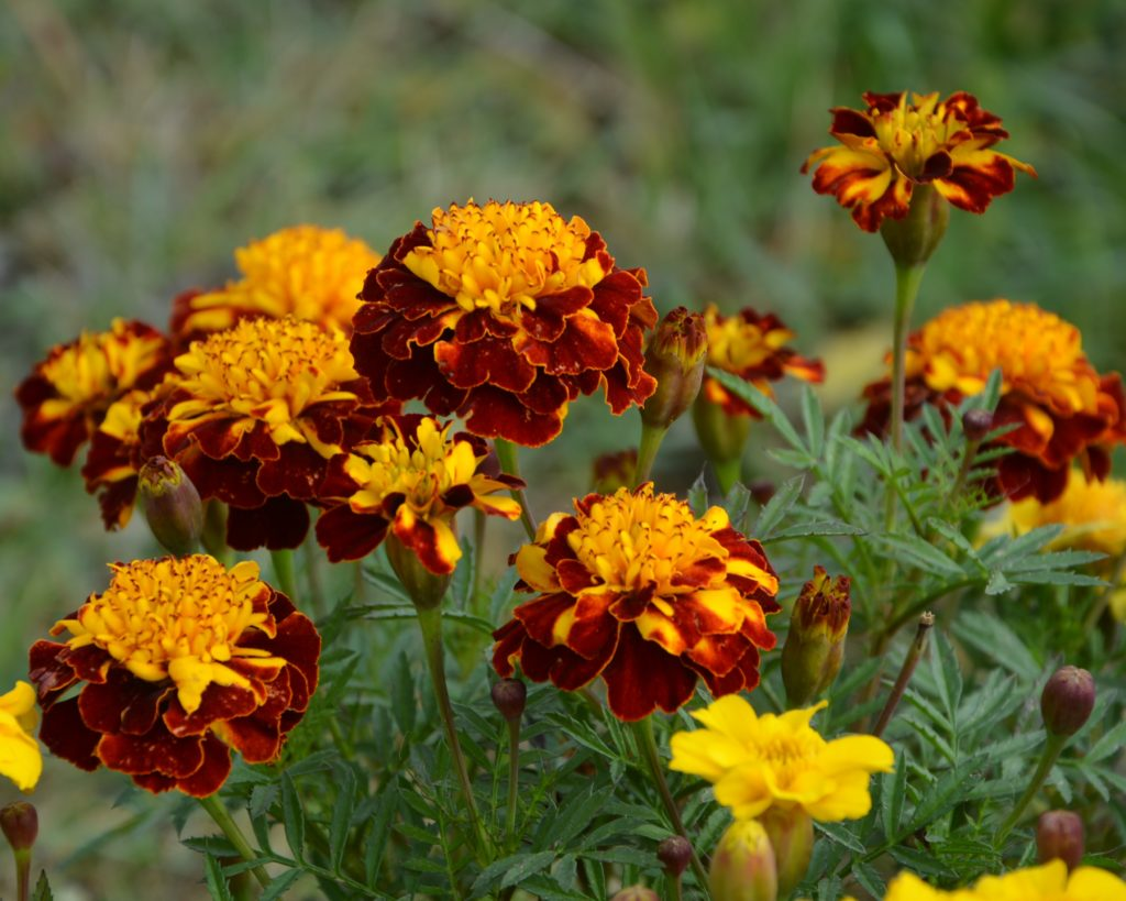 Картинки цветы бархатцы